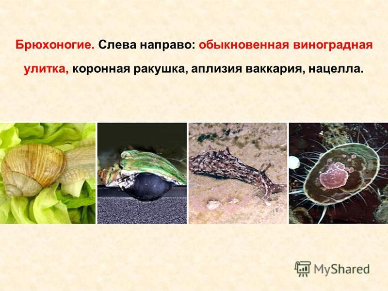 Брюхоногие. Слева направо: обыкновенная виноградная улитка, коронная ракушка, аплазия викария, нацело.