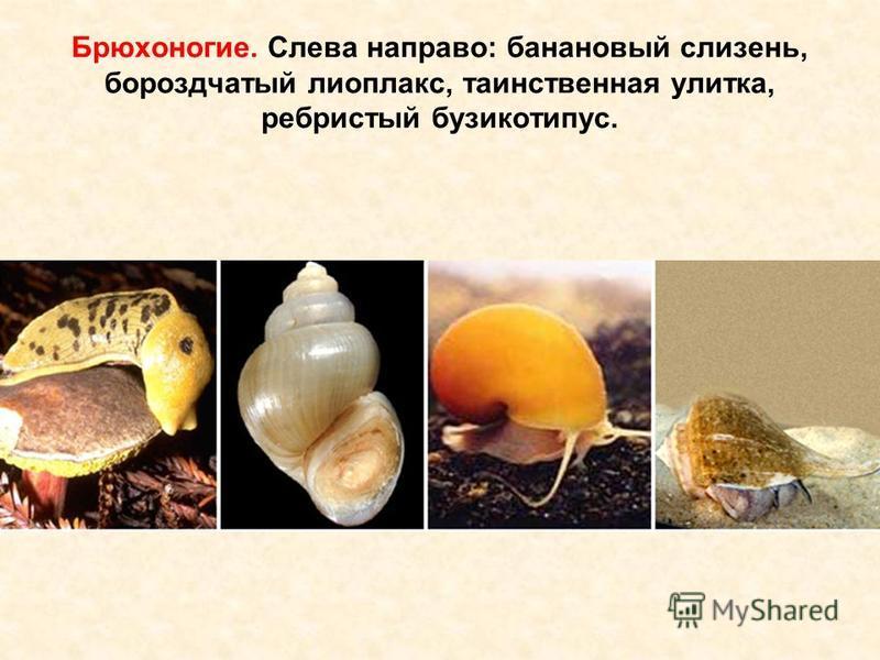 Брюхоногие. Слева направо: банановый слизень, бороздчатый лиоплакс, таинственная улитка, ребристый бузикотипус.