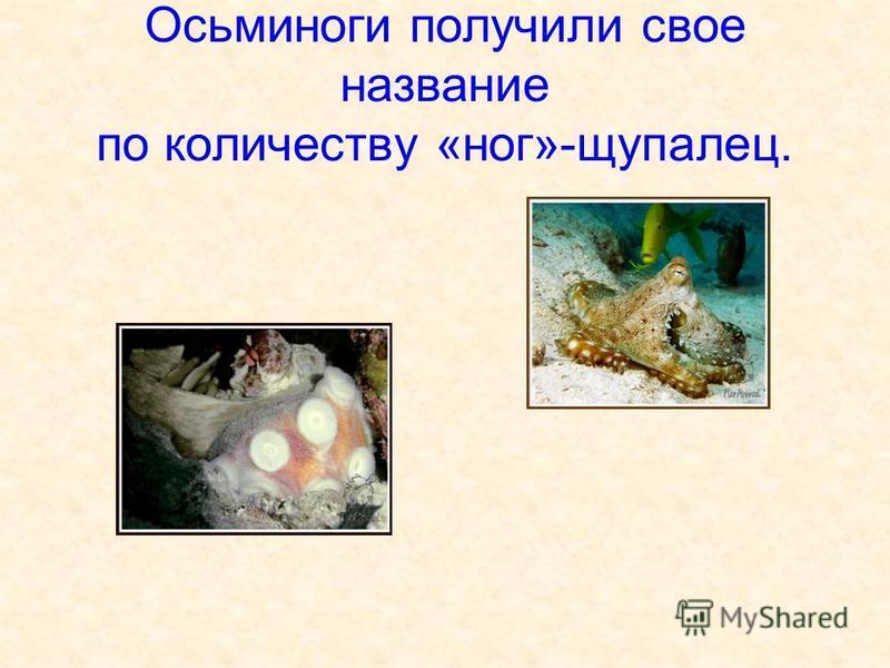 Осьминоги получили свое название по количеству «ног»-щупалец.