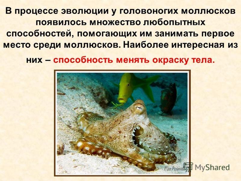 В процессе эволюции у головоногих моллюсков появилось множество любопытных способностей, помогающих им занимать первое место среди моллюсков. Наиболее интересная из них – способность менять окраску тела.