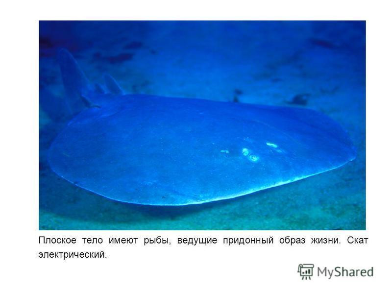 Плоское тело имеют рыбы, ведущие придонный образ жизни. Скат электрический.