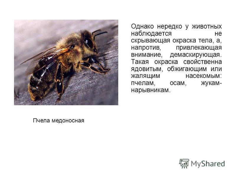 Однако нередко у животных наблюдается не скрывающая окраска тела, а, напротив, привлекающая внимание, демаскирующая. Такая окраска свойственна ядовитым, обжигающим или жалящим насекомым: пчелам, осам, жукам- нарывникам. Пчела медоносная