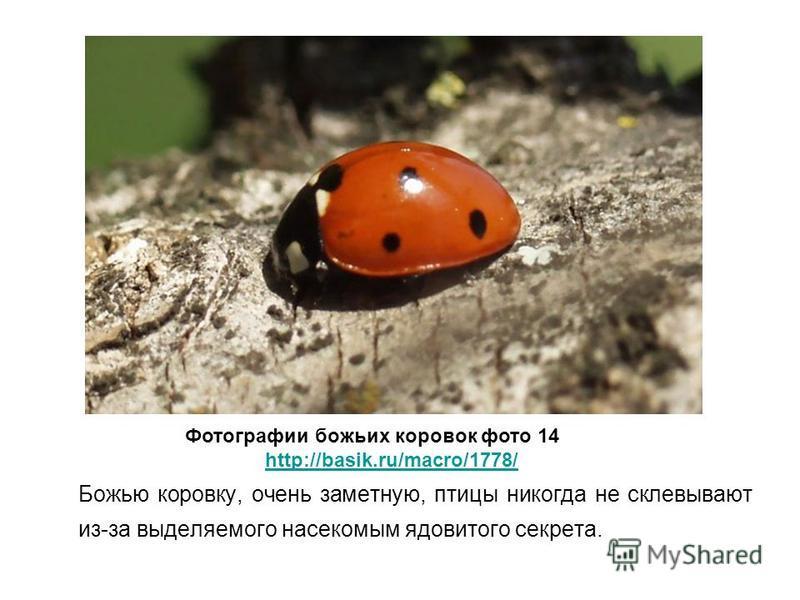 Божью коровку, очень заметную, птицы никогда не склевывают из-за выделяемого насекомым ядовитого секрета. Фотографии божьих коровок фото 14 http://basik.ru/macro/1778/