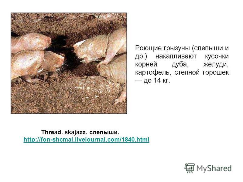 Роющие грызуны (слепыши и др.) накапливают кусочки корней дуба, желуди, картофель, степной горошек до 14 кг. Thread. skajazz. слепыши. http://fon-shcmal.livejournal.com/1840.html
