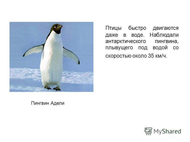 Птицы быстро двигаются даже в воде. Наблюдали антарктического пингвина, плывущего под водой со скоростью около 35 км/ч. Пингвин Адели