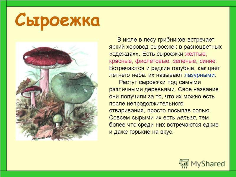 Белый гриб (Боровик) А вот белый гриб дружит со многими породами деревьев. От того, с каким деревом подружился этот красивый крепкий грибок, зависит цвет его шляпки. Когда он растет под березами его шляпка светлая, даже беловатая. Под елями и соснам