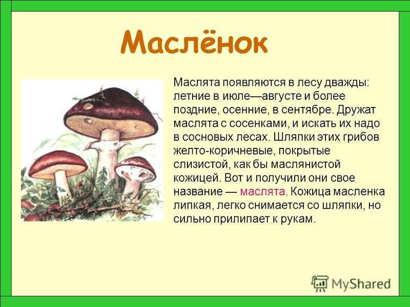 Груздь В конце лета в лесу появляются грузди. Название грузди получили от слова «груда», так как растут они дружно, большими группами, часто громоздясь друг на друга. Белый груздь легко отличить от других. Край его шляпки всегда лохматый, будто пушис