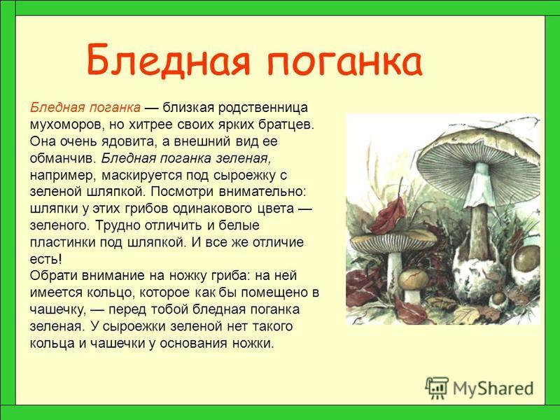 Мухомор Вот под елочкой стоит красавец мухомор. Шляпка ярко-красных тонов с белыми пятнышками, ножка высокая, стройная, украшена воротничком-бахромой. Однако не торопись положить его в корзинку! Как красный сигнал светофора, гриб предупреждает: «Эй,