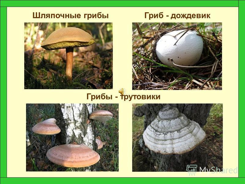 Грибница Сам гриб На Земле насчитывается около 100 тысяч видов грибов. Их изучением занимаются учёные – микологи.