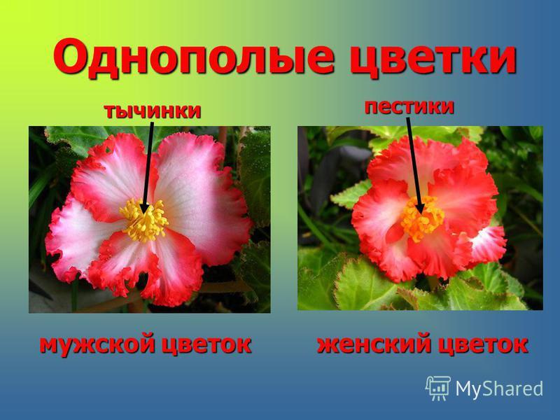 Однополые цветки тычинки пестики мужской цветок женский цветок