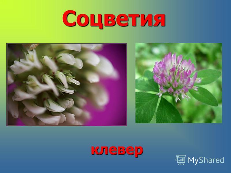 Соцветияклевер