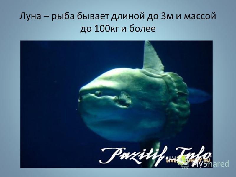 Луна – рыба бывает длиной до 3 м и массой до 100 кг и более