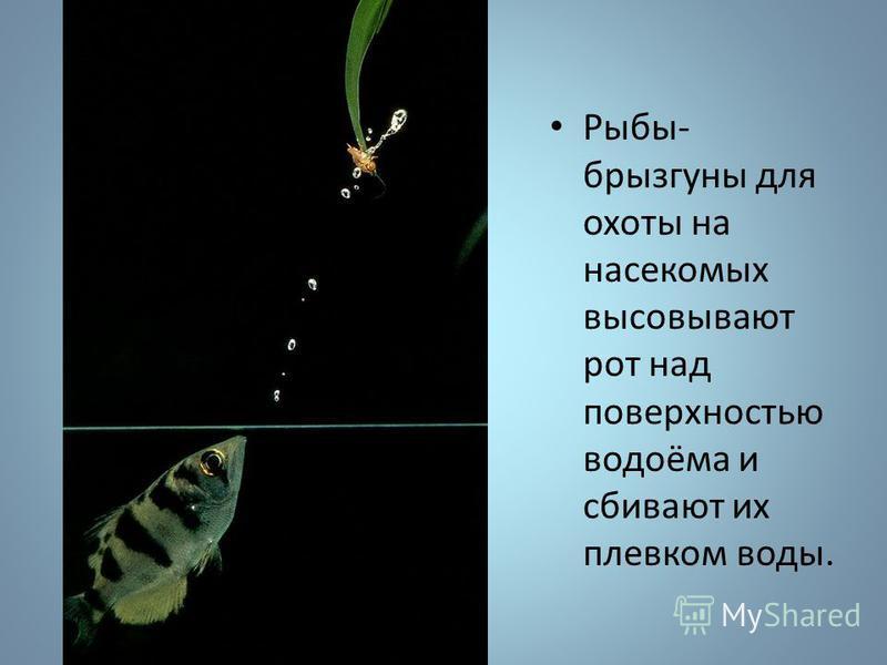 Рыбы- брызгуны для охоты на насекомых высовывают рот над поверхностью водоёма и сбивают их плевком воды.