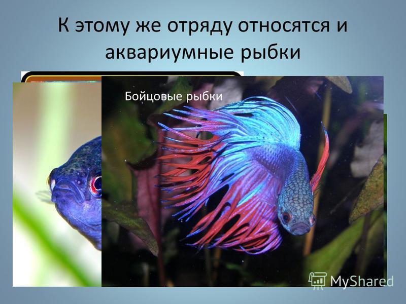К этому же отряду относятся и аквариумные рыбки Гурами Лялиус Макропод Бойцовые рыбки