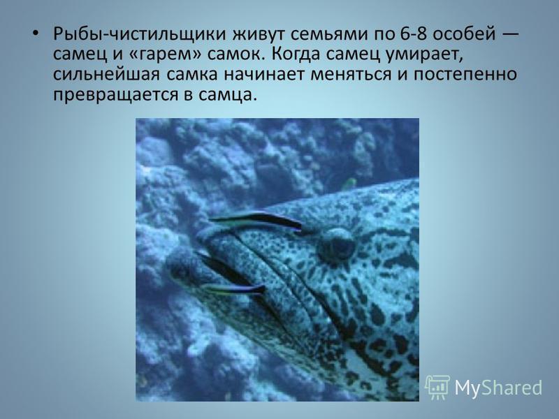 Рыбы-чистильщики живут семьями по 6-8 особей самец и «гарем» самок. Когда самец умирает, сильнейшая самка начинает меняться и постепенно превращается в самца.