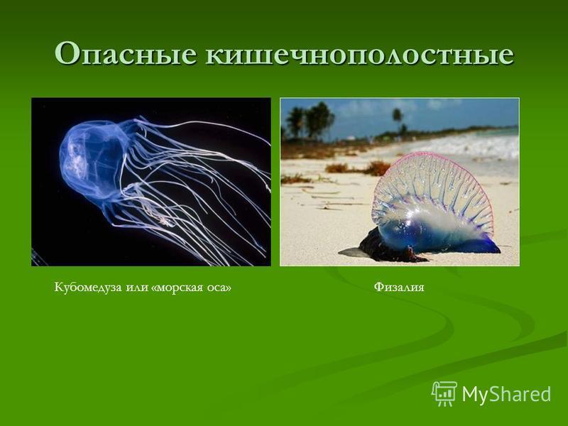Опасные кишечнополостные Кубомедуза или «морская оса»Физалия