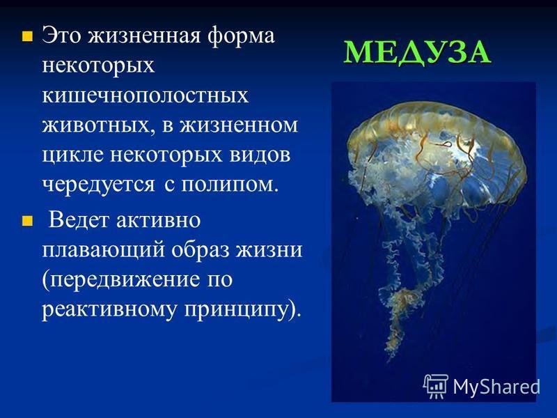 МЕДУЗА Это жизненная форма некоторых кишечнополостных животных, в жизненном цикле некоторых видов чередуется с полипом. Ведет активно плавающий образ жизни (передвижение по реактивному принципу).
