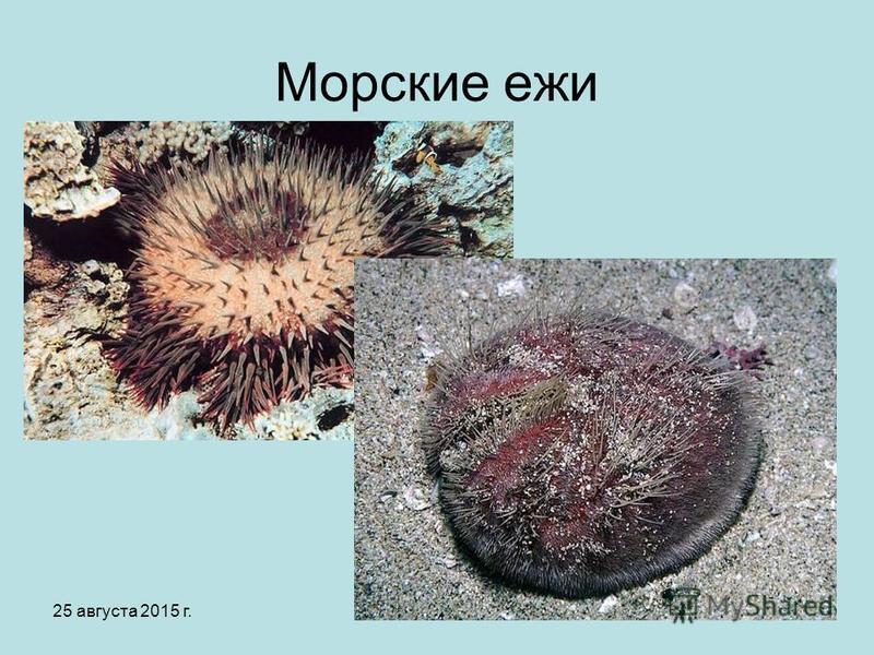 25 августа 2015 г.Яковлева Л.А.11 Морские ежи