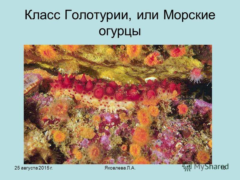 25 августа 2015 г.Яковлева Л.А.16 Класс Голотурии, или Морские огурцы