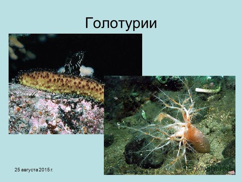25 августа 2015 г.Яковлева Л.А.17 Голотурии