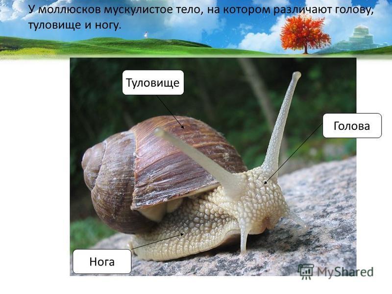 У моллюсков мускулистое тело, на котором различают голову, туловище и ногу. Голова Нога Туловище