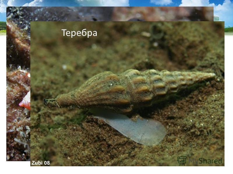Тропические моллюски конус и серебра имеют ядовитые железы, их яд близок к яду кураре. Конус Теребра