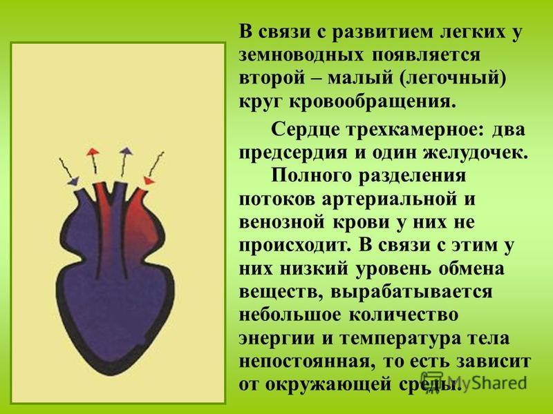 В связи с развитием легких у земноводных появляется второй – малый (легочный) круг кровообращения. Сердце трехкамерное: два предсердия и один желудочек. Полного разделения потоков артериальной и венозной крови у них не происходит. В связи с этим у ни