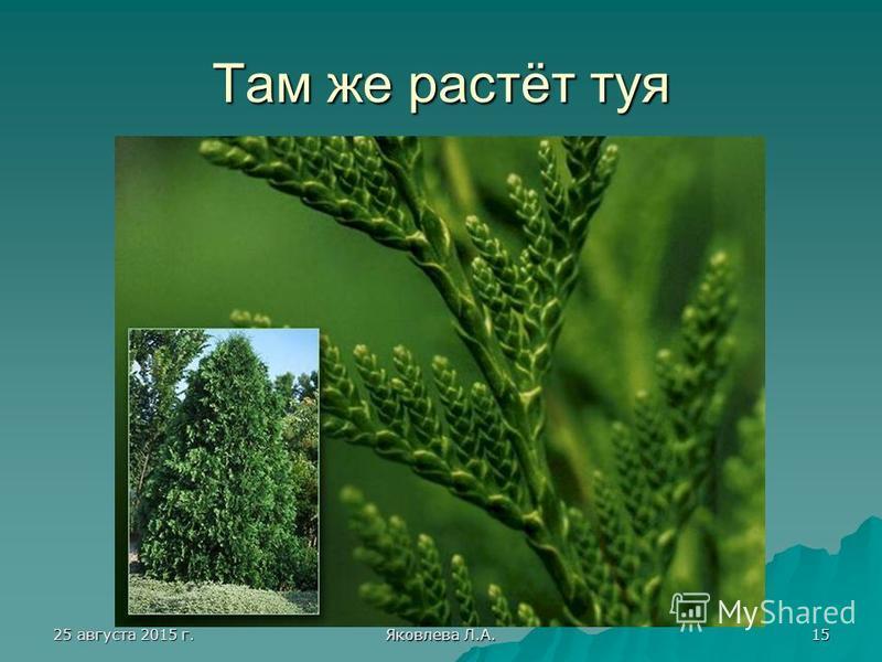25 августа 2015 г.25 августа 2015 г.25 августа 2015 г.25 августа 2015 г. Яковлева Л.А. 15 Там же растёт туя