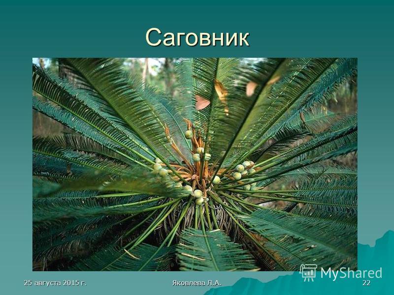 25 августа 2015 г.25 августа 2015 г.25 августа 2015 г.25 августа 2015 г. Яковлева Л.А. 22 Саговник