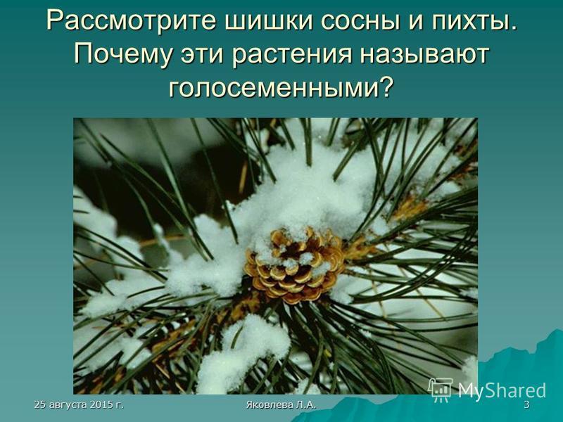 25 августа 2015 г.25 августа 2015 г.25 августа 2015 г.25 августа 2015 г. Яковлева Л.А. 3 Рассмотрите шишки сосны и пихты. Почему эти растения называют голосеменными?