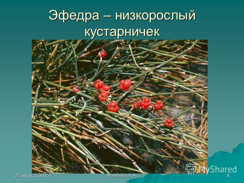 25 августа 2015 г.25 августа 2015 г.25 августа 2015 г.25 августа 2015 г. Яковлева Л.А. 8 Эфедра – низкорослый кустарничек
