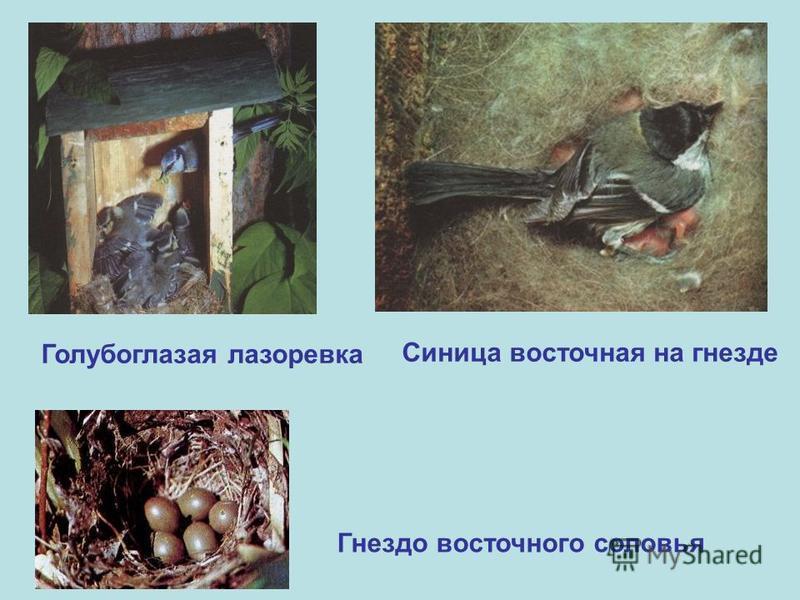Голубоглазая лазоревка Синица восточная на гнезде Гнездо восточного соловья