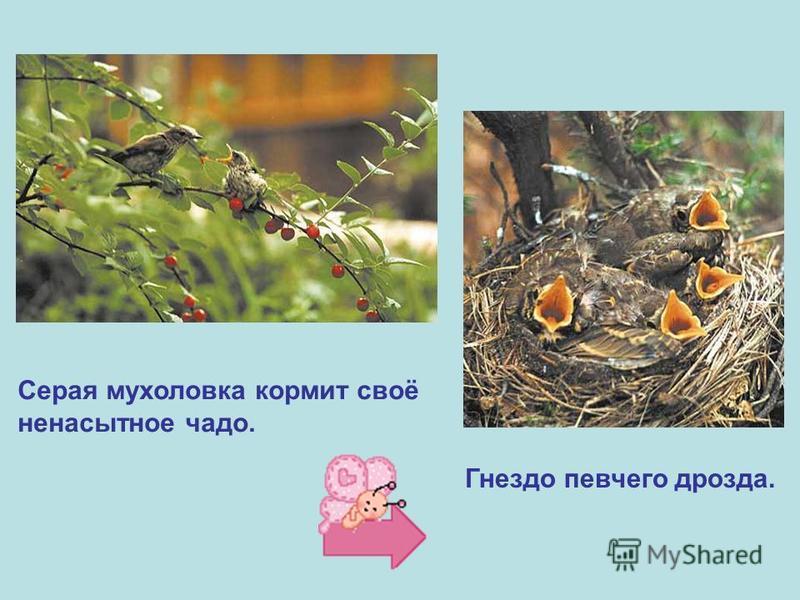 Серая мухоловка кормит своё ненасытное чадо. Гнездо певчего дрозда.