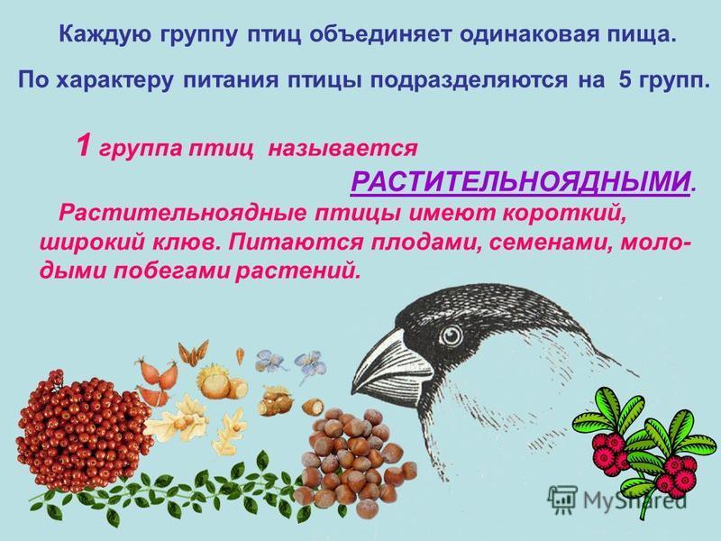 Каждую группу птиц объединяет одинаковая пища. 1 группа птиц называется РАСТИТЕЛЬНОЯДНЫМИ. Растительноядные птицы имеют короткий, широкий клюв. Питаются плодами, семенами, молодыми побегами растений. По характеру питания птицы подразделяются на 5 гру