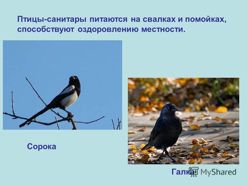 Птицы-санитары питаются на свалках и помойках, способствуют оздоровлению местности. Сорока Галка