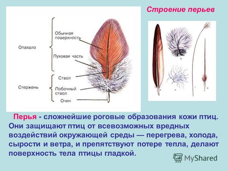 Перья - сложнейшие роговые образования кожи птиц. Они защищают птиц от всевозможных вредных воздействий окружающей среды перегрева, холода, сырости и ветра, и препятствуют потере тепла, делают поверхность тела птицы гладкой. Строение перьев