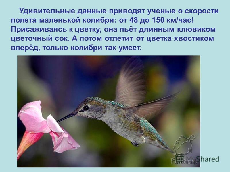 Удивительные данные приводят ученые о скорости полета маленькой колибри: от 48 до 150 км/час! Присаживаясь к цветку, она пьёт длинным клювиком цветочный сок. А потом отлетит от цветка хвостиком вперёд, только колибри так умеет.