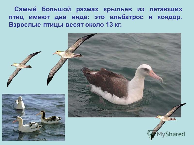 Самый большой размах крыльев из летающих птиц имеют два вида: это альбатрос и кондор. Взрослые птицы весят около 13 кг.