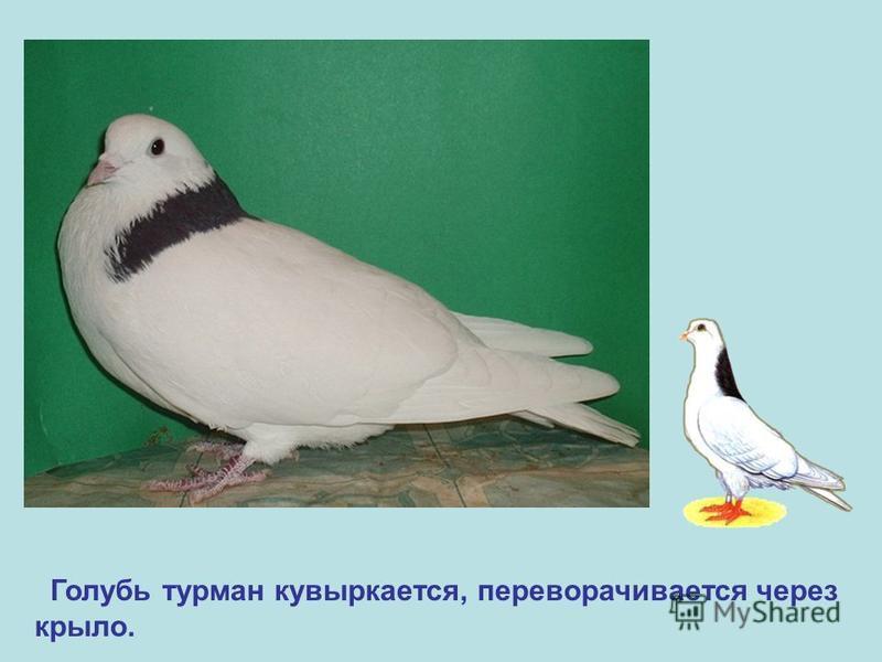 Голубь турман кувыркается, переворачивается через крыло.