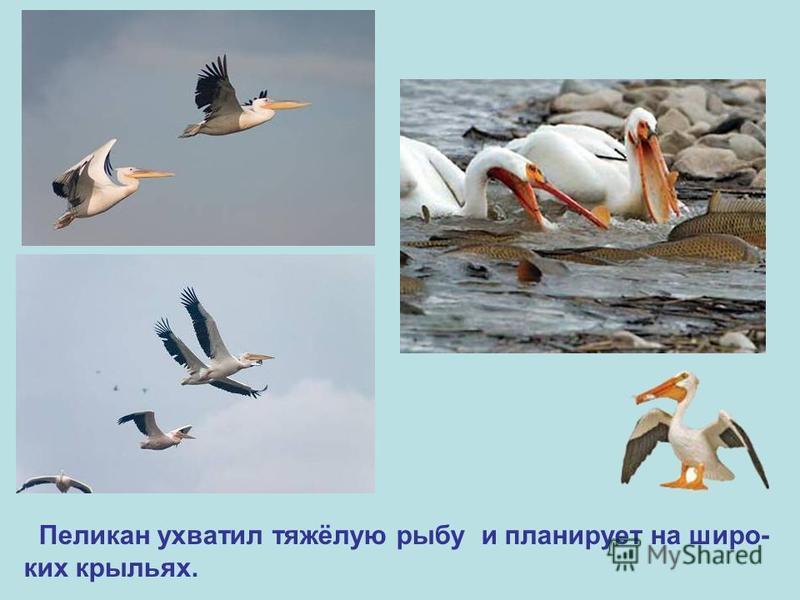 Пеликан ухватил тяжёлую рыбу и планирует на широких крыльях.