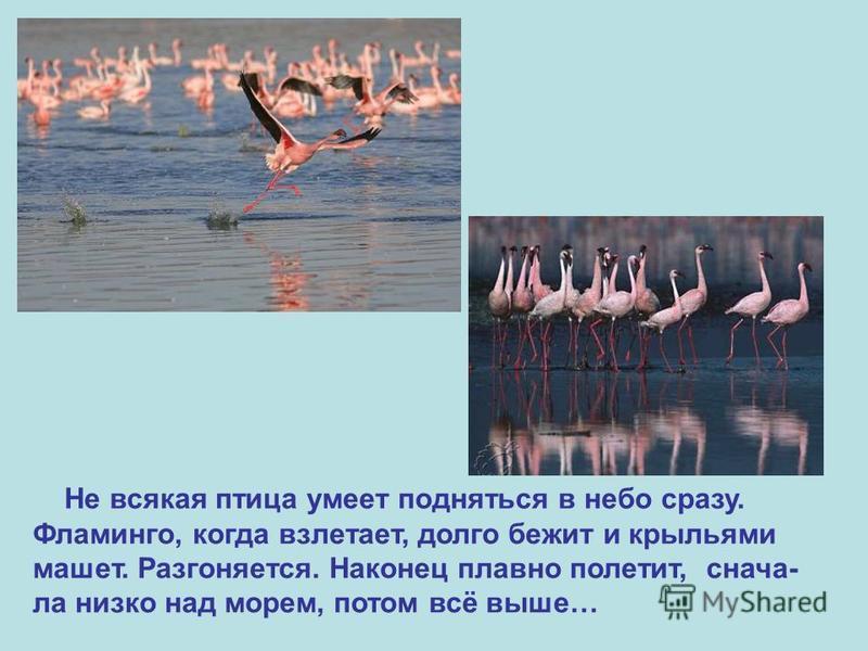 Не всякая птица умеет подняться в небо сразу. Фламинго, когда взлетает, долго бежит и крыльями машет. Разгоняется. Наконец плавно полетит, сначала низко над морем, потом всё выше…