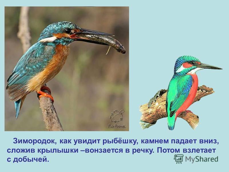 Зимородок, как увидит рыбёшку, камнем падает вниз, сложив крылышки –вонзается в речку. Потом взлетает с добычей.