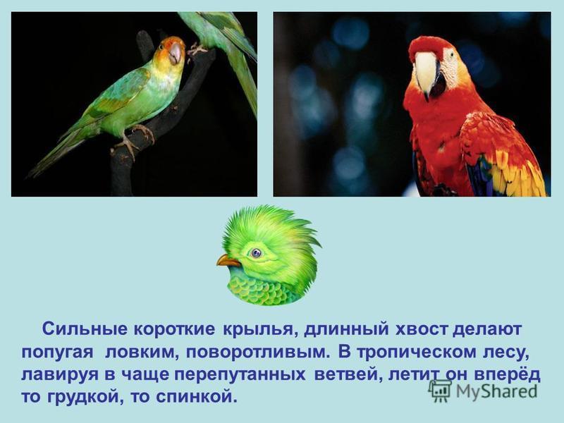Сильные короткие крылья, длинный хвост делают попугая ловким, поворотливым. В тропическом лесу, лавируя в чаще перепутанных ветвей, летит он вперёд то грудкой, то спинкой.
