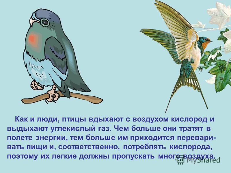 Как и люди, птицы вдыхают с воздухом кислород и выдыхают углекислый газ. Чем больше они тратят в полете энергии, тем больше им приходится переваривать пищи и, соответственно, потреблять кислорода, поэтому их легкие должны пропускать много воздуха.