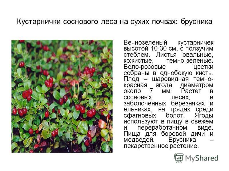 Кустарнички соснового леса на сухих почвах: брусника Вечнозеленый кустарничек высотой 10-30 см, с ползучим стеблем. Листья овальные, кожистые, темно-зеленые. Бело-розовые цветки собраны в однобокую кисть. Плод – шаровидная темно- красная ягода диамет