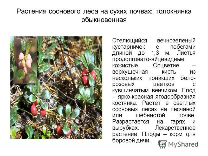 Растения соснового леса на сухих почвах: толокнянка обыкновенная Стелющийся вечнозеленый кустарничек с побегами длиной до 1,3 м. Листья продолговато-яйцевидные, кожистые. Соцветие – верхушечная кисть из нескольких поникших бело- розовых цветков с кув