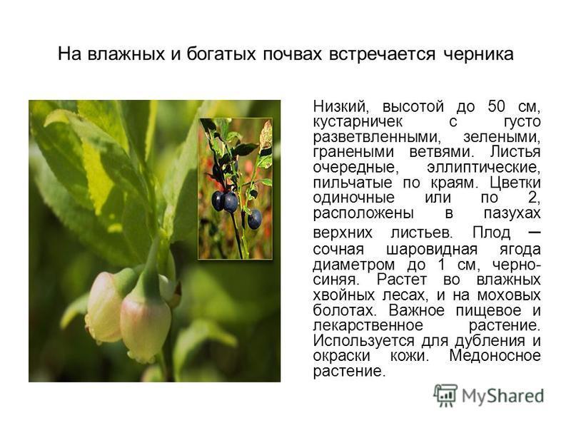 На влажных и богатых почвах встречается черника Низкий, высотой до 50 см, кустарничек с густо разветвленными, зелеными, гранеными ветвями. Листья очередные, эллиптические, пильчатые по краям. Цветки одиночные или по 2, расположены в пазухах верхних л
