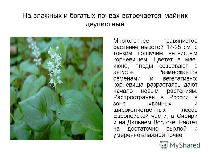 На влажных и богатых почвах встречается майник двулистный Многолетнее травянистое растение высотой 12-25 см, с тонким ползучим ветвистым корневищем. Цветет в мае- июне, плоды созревают в августе. Размножается семенами и вегетативно: корневища, разрас
