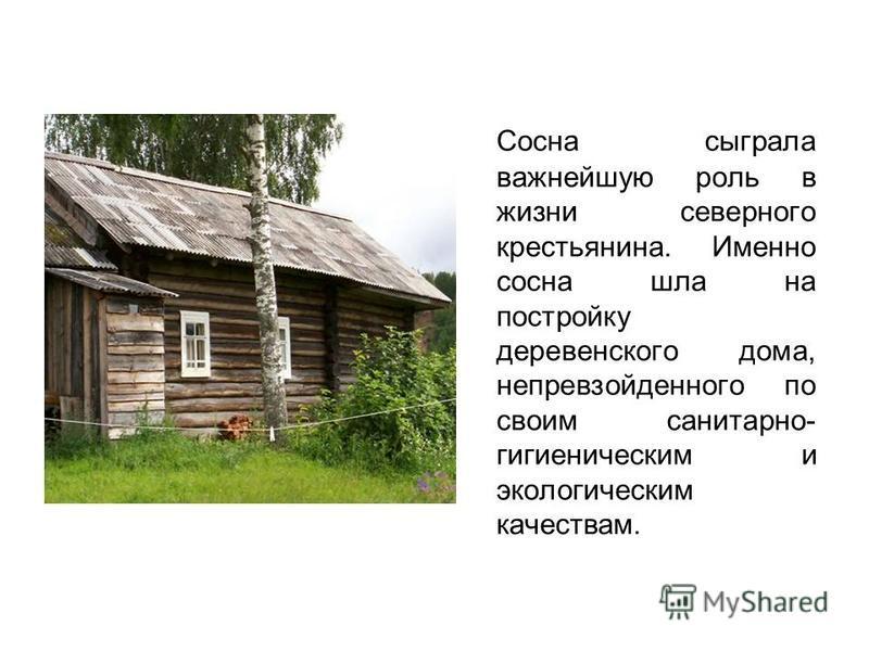 Сосна сыграла важнейшую роль в жизни северного крестьянина. Именно сосна шла на постройку деревенского дома, непревзойденного по своим санитарно- гигиеническим и экологическим качествам.