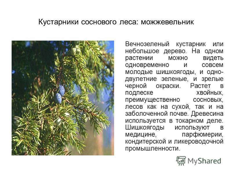 Кустарники соснового леса: можжевельник Вечнозеленый кустарник или небольшое дерево. На одном растении можно видеть одновременно и совсем молодые шишкоягоды, и одно- двулетние зеленые, и зрелые черной окраски. Растет в подлеске хвойных, преимуществен
